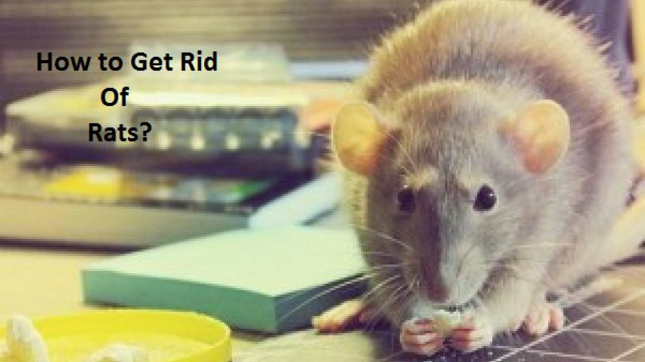 How to Get Rid of Rats Fast?